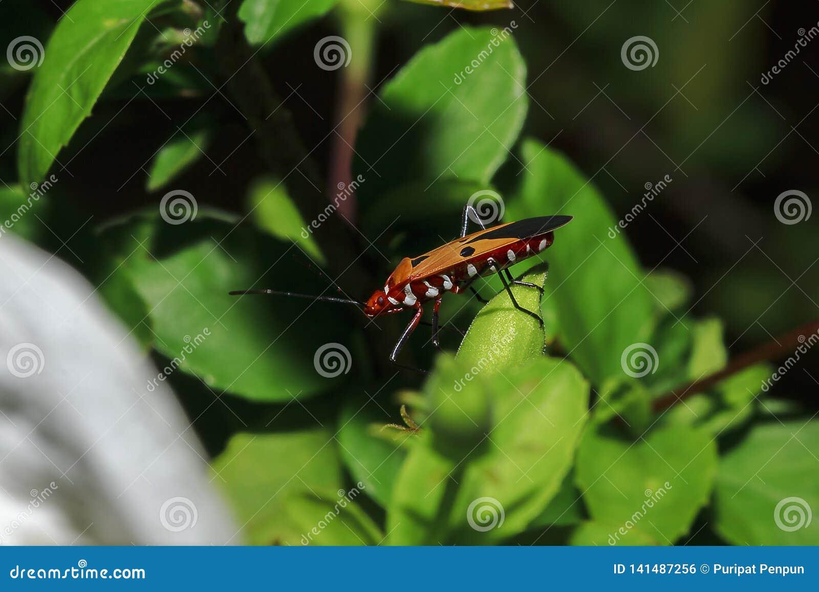 Le teinturier de coton sur des branches est considéré un insecte important