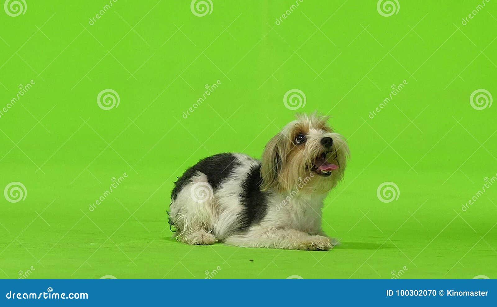Le Terrier De Yorkshire Veut Boire Ecran Vert Mouvement Lent