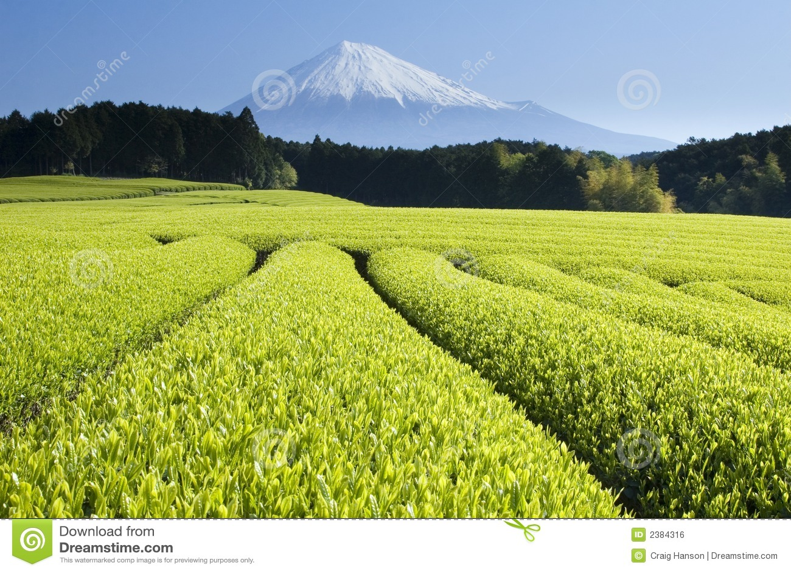 Le thé vert met en place V