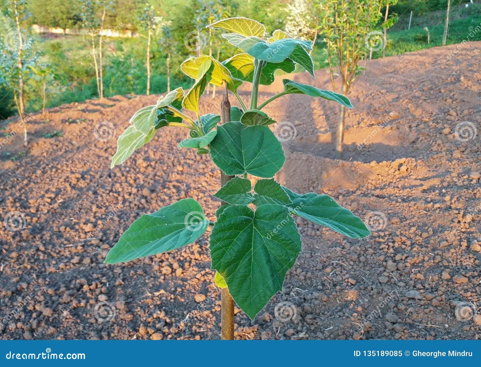 Le tomentosa de Paulownia se développe beau dans le jardin