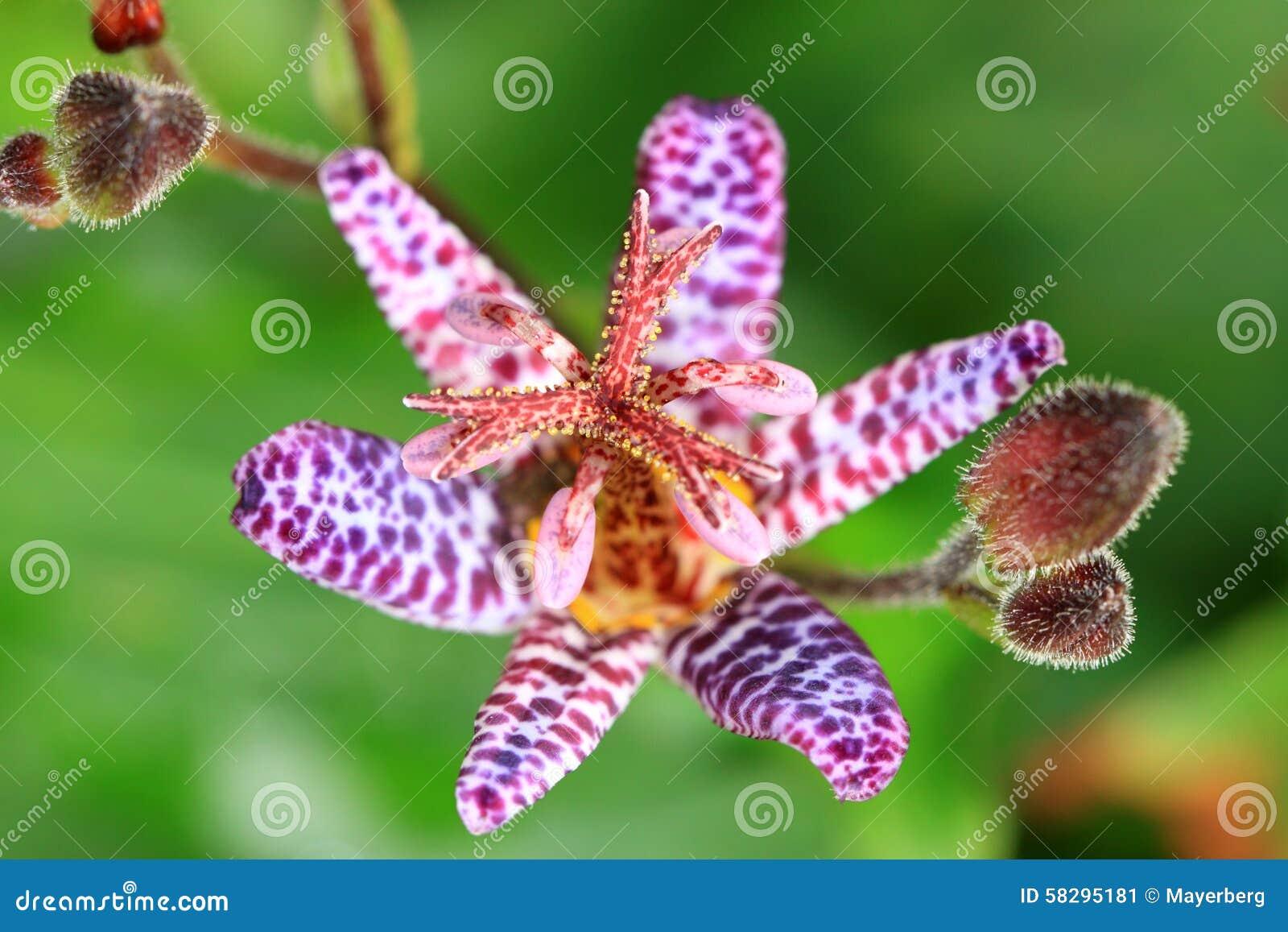Le Tricyrtis Appartient à La Famille D\'orchidée Image stock - Image ...