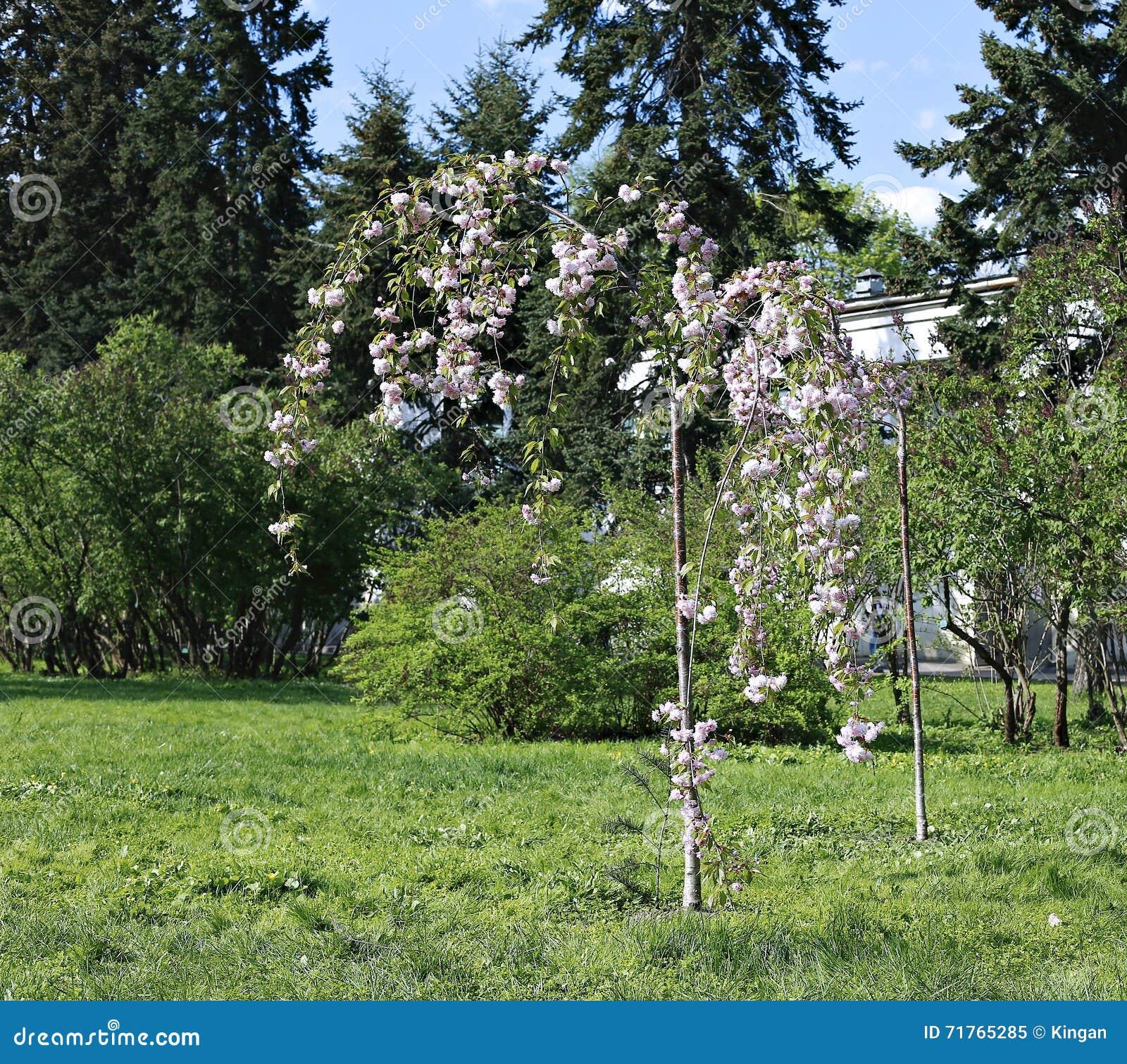 Le triloba de prunus d 39 arbuste fleurs roses de floraison photo stock image 71765285 - Arbuste a fleurs roses ...