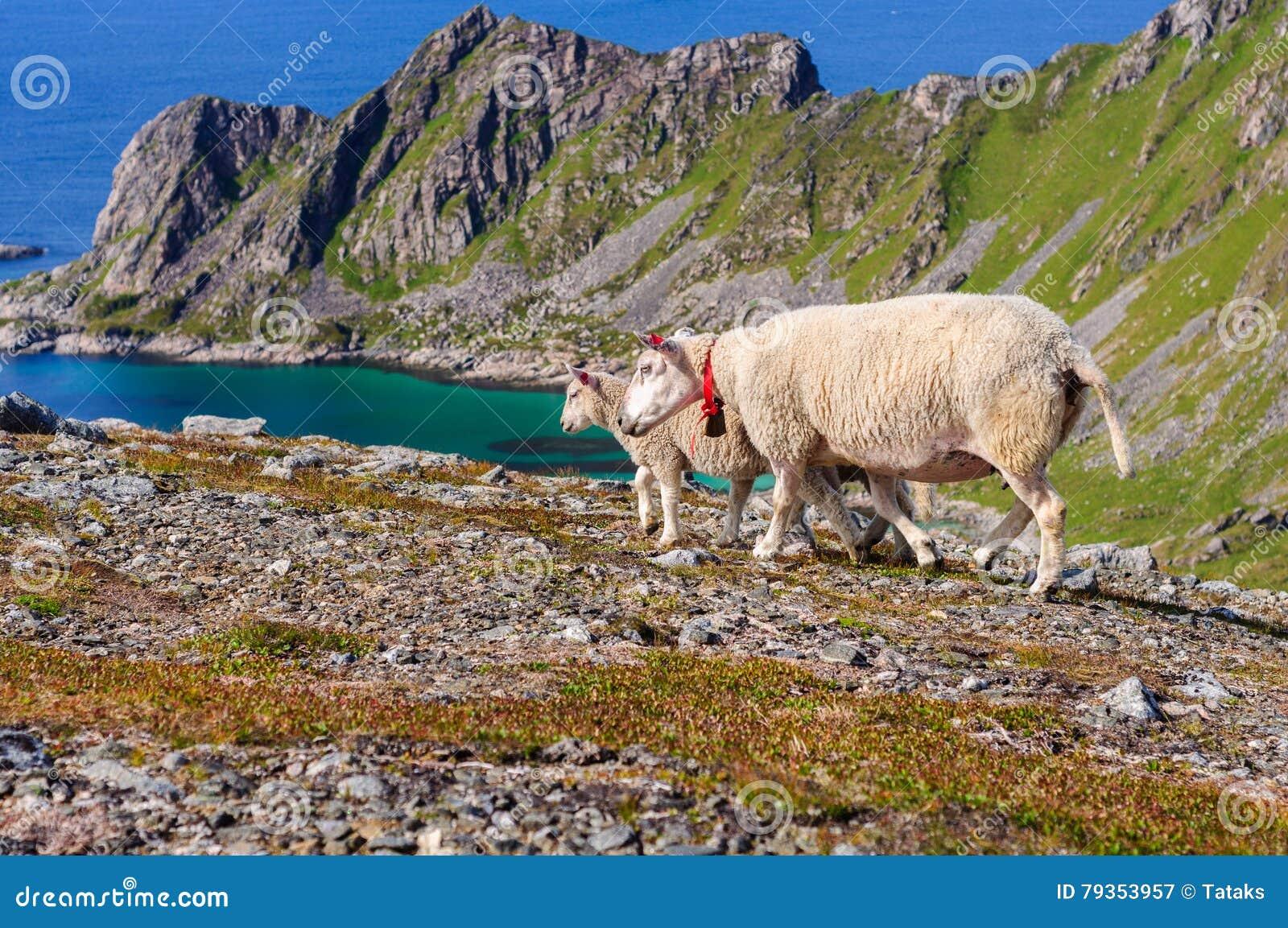 Le troupeau des moutons et les agneaux en montagnes s approchent de la mer La Norvège, l Europe