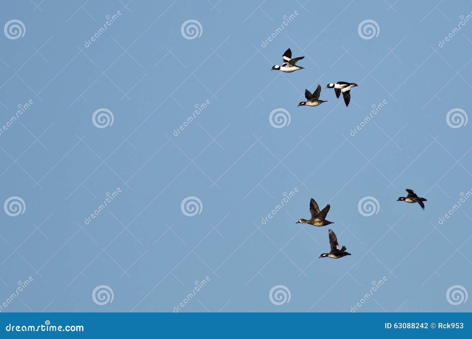 Download Le Troupeau Du Bufflehead Penche Le Vol Dans Un Ciel Bleu Photo stock - Image du faune, entourer: 63088242