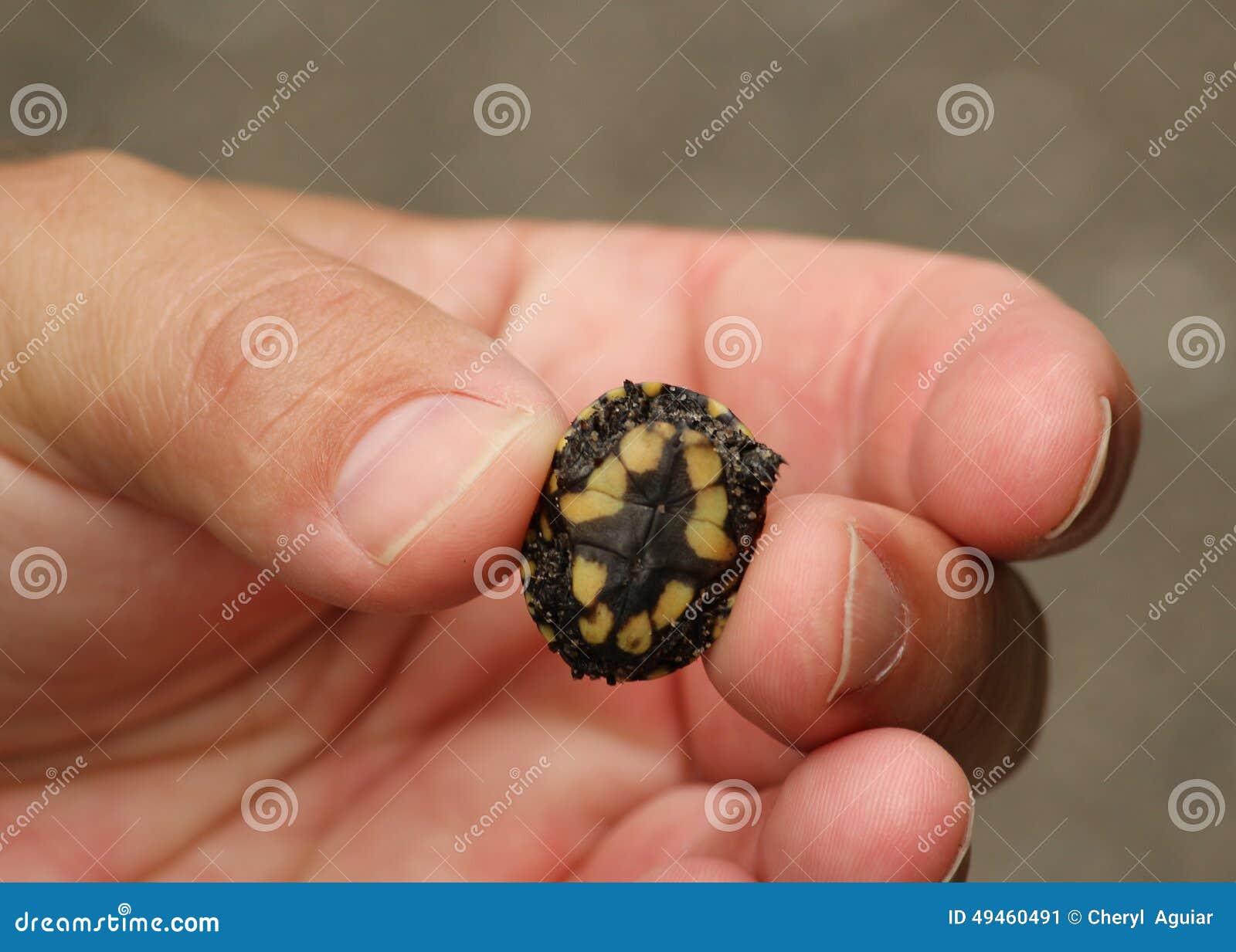 Le Turle minuscule