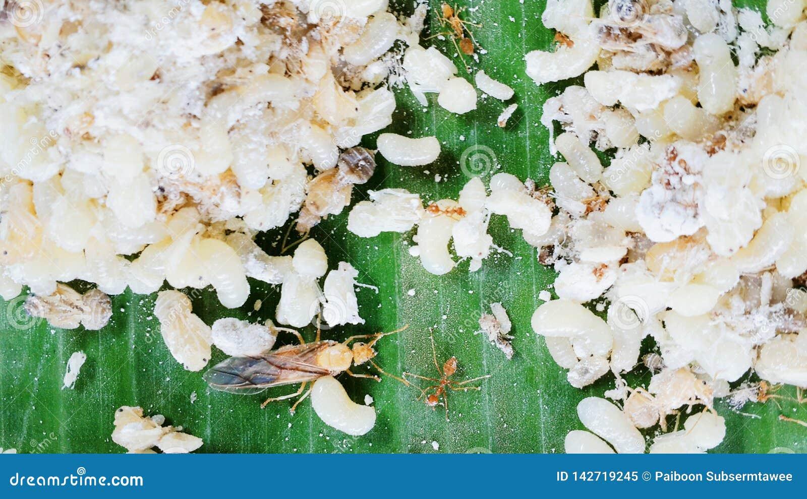 Le uova delle formiche sotteranee sono piatti popolari della gente rurale e sono alimenti stagionali