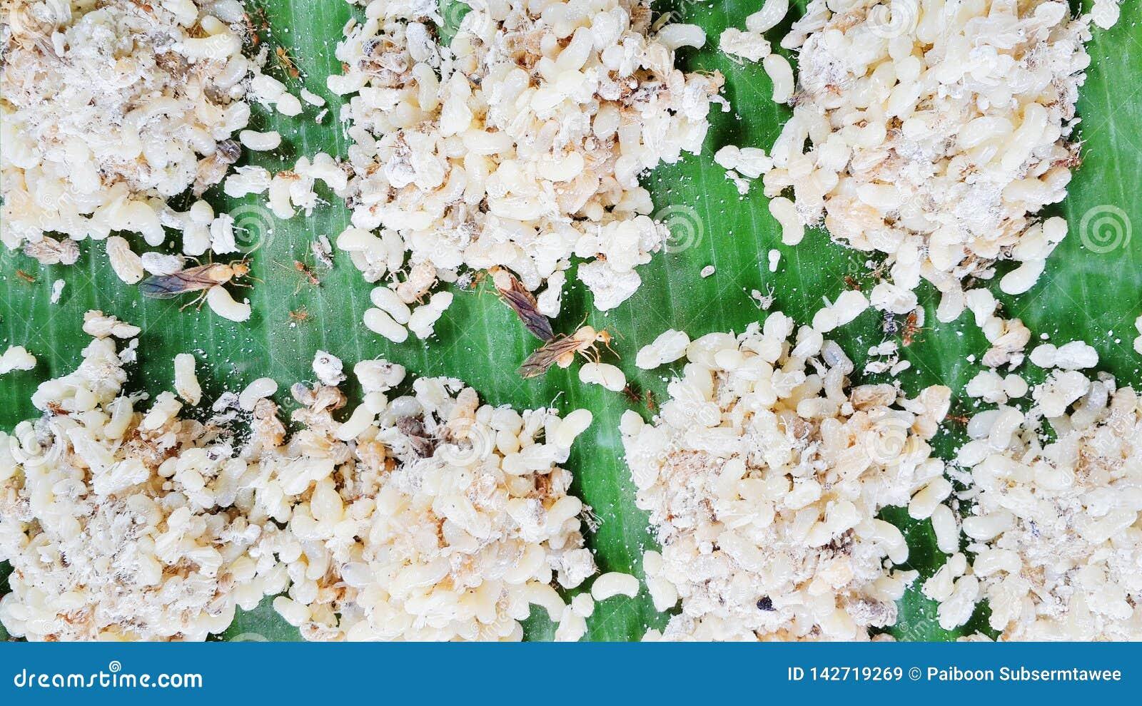 Le uova delle formiche sotterranee sono piatti popolari della gente rurale e sono alimenti stagionali