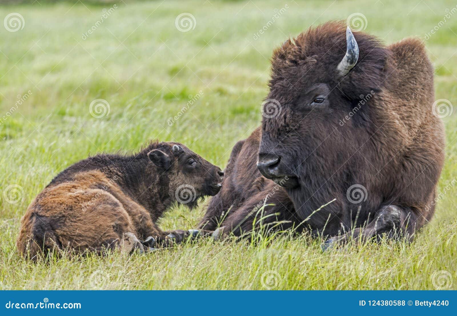 Le veau de bison essaye de communiquer avec son parent