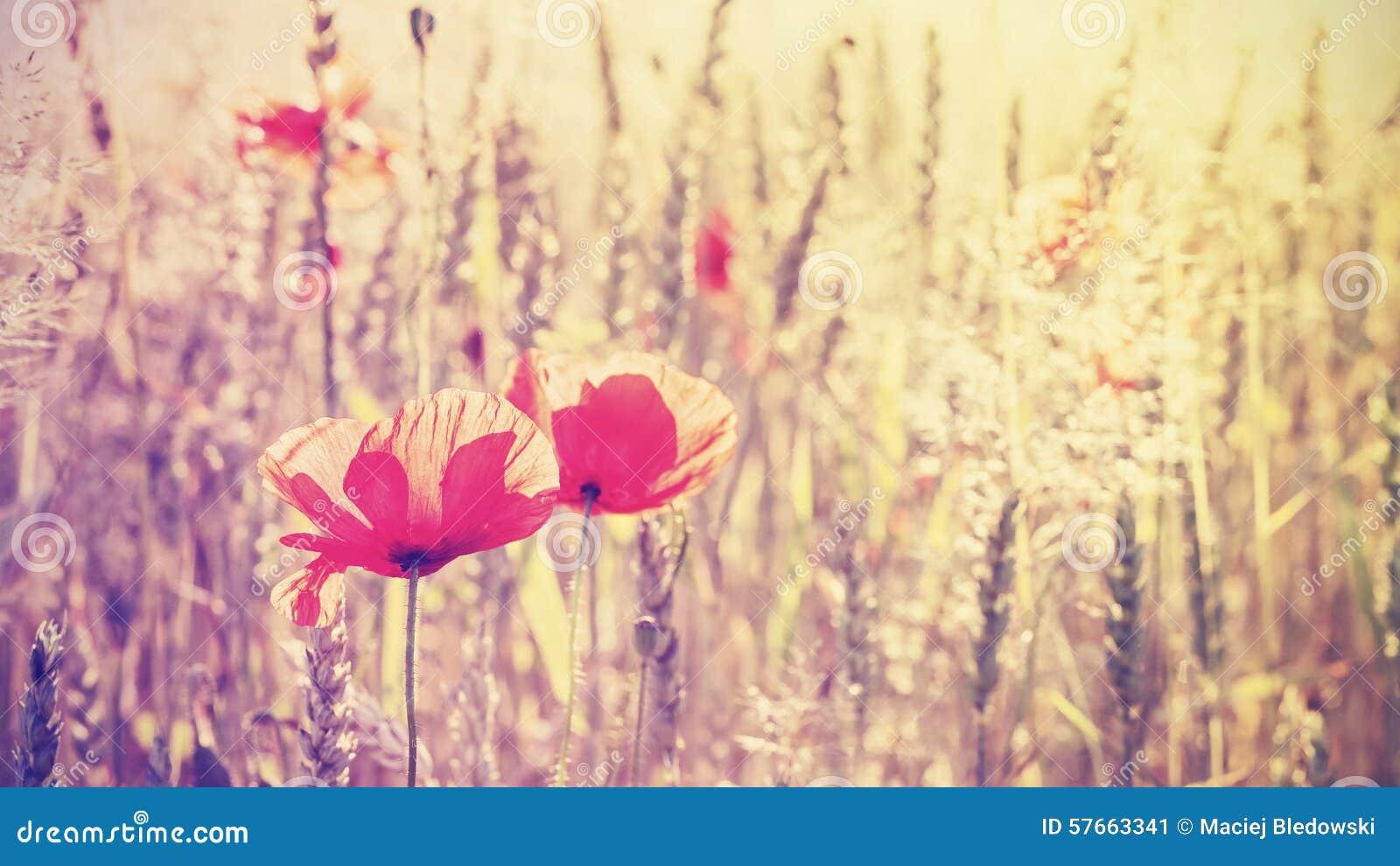 Le vintage a modifié la tonalité des fleurs de pavot au lever de soleil