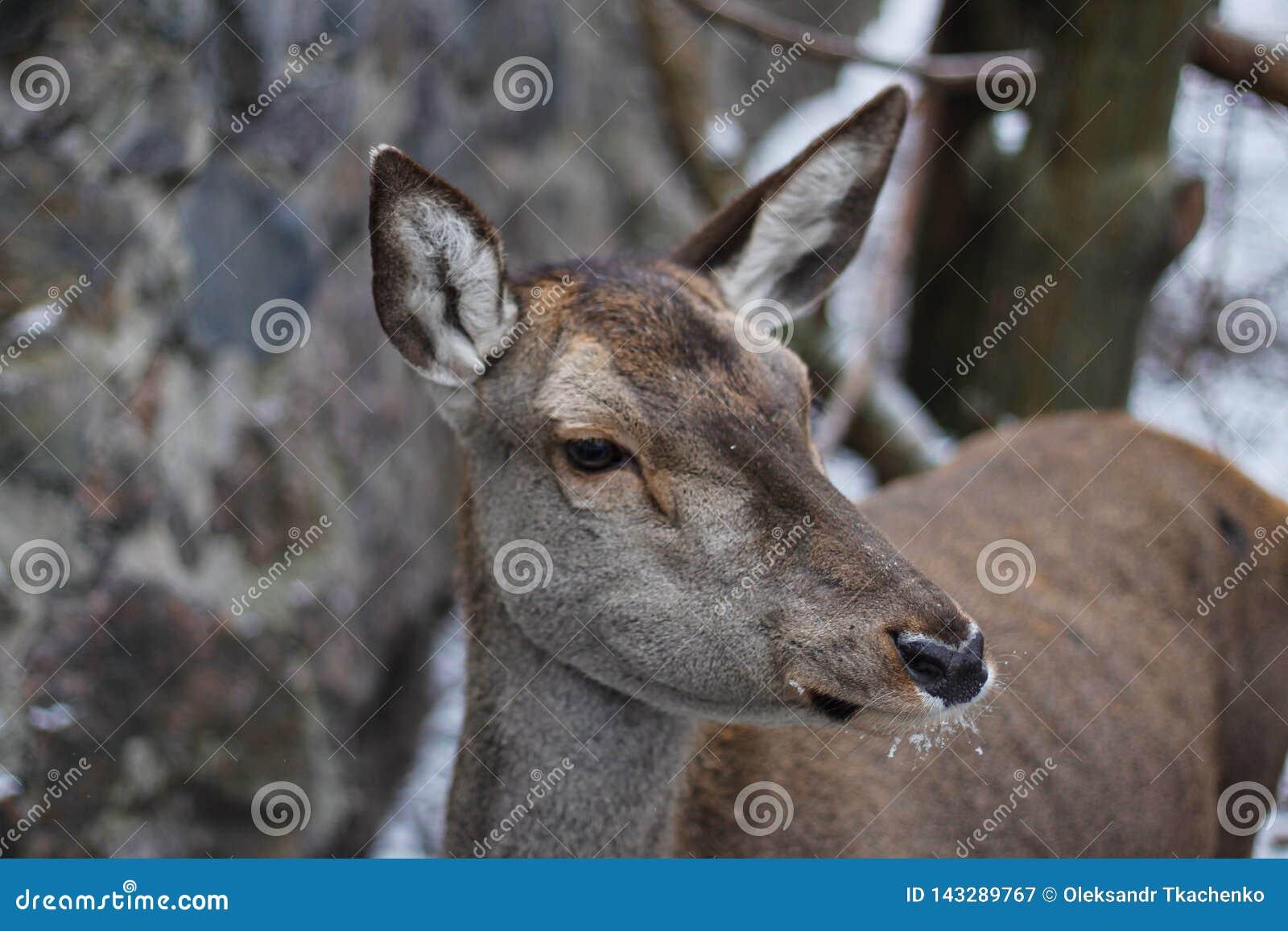 Le virginianus blanc-coup? la queue d Odocoileus de cerfs communs