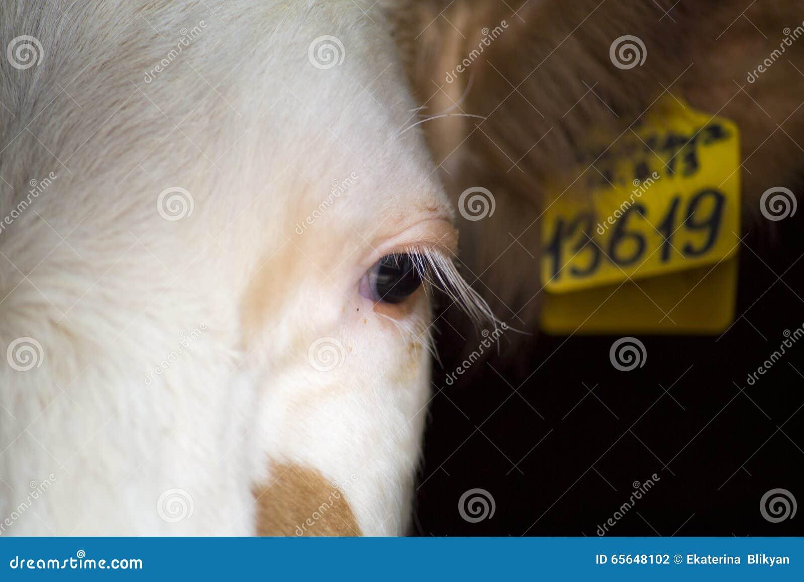 Le visage de la vache