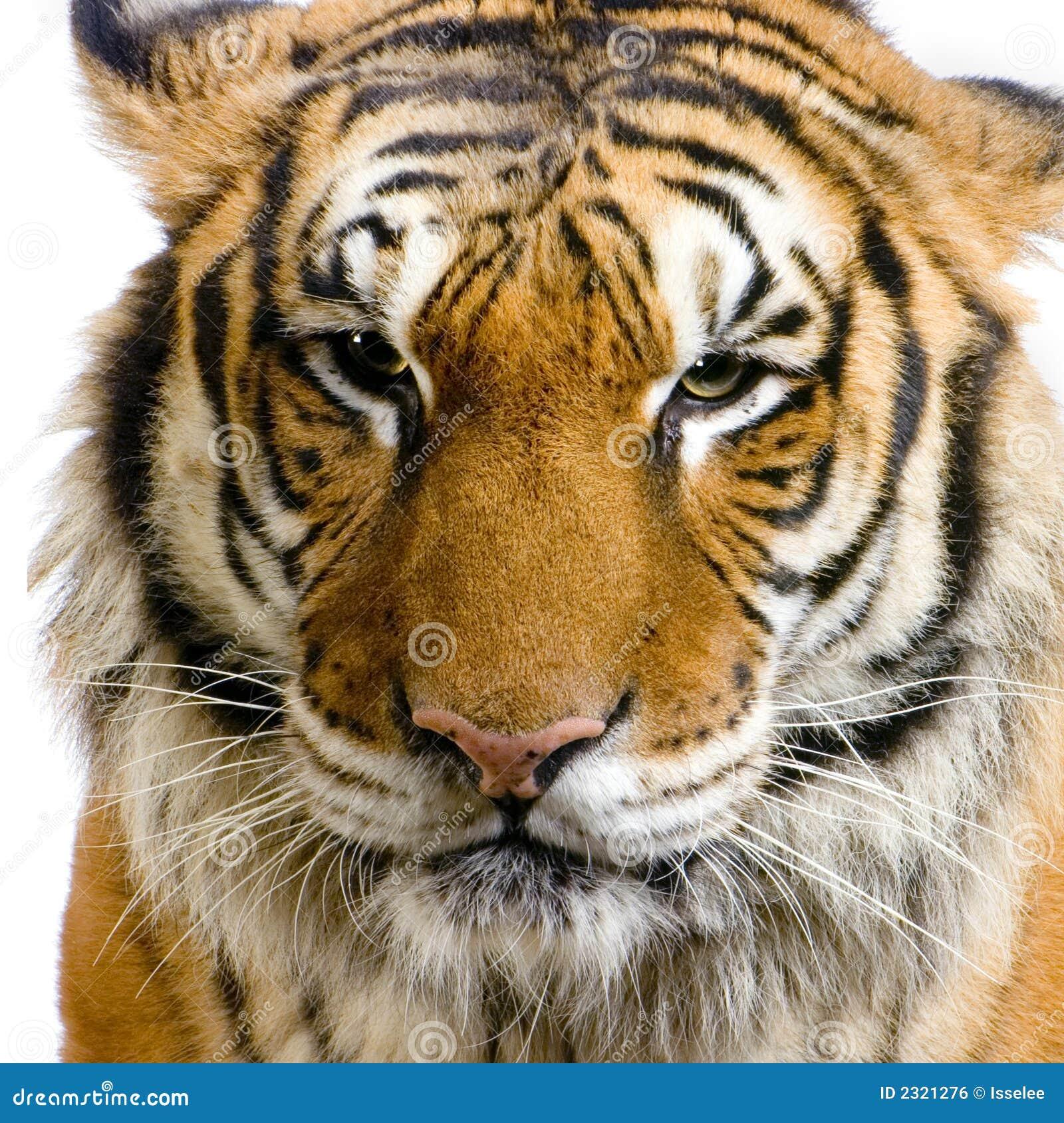 Le visage du tigre photo stock image du grand grondement - Images tigres gratuites ...
