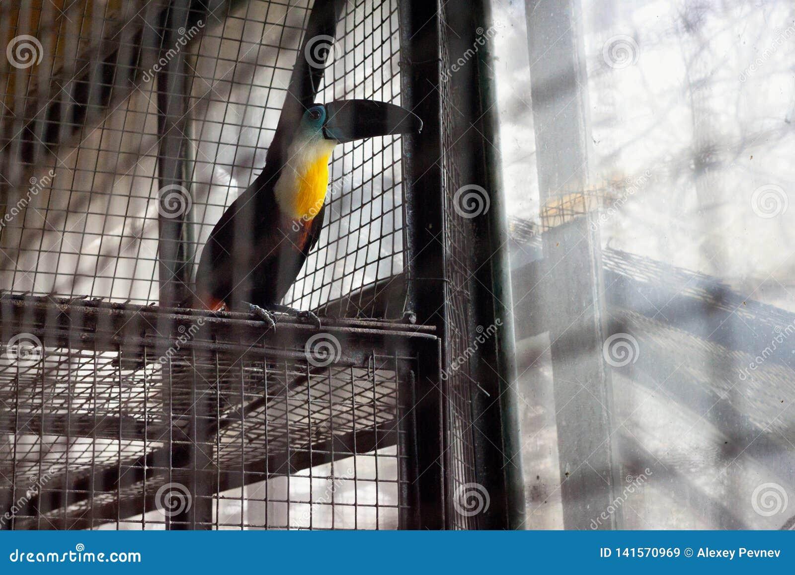 Le vitellinus canal-affiché de Ramphastos de toucan