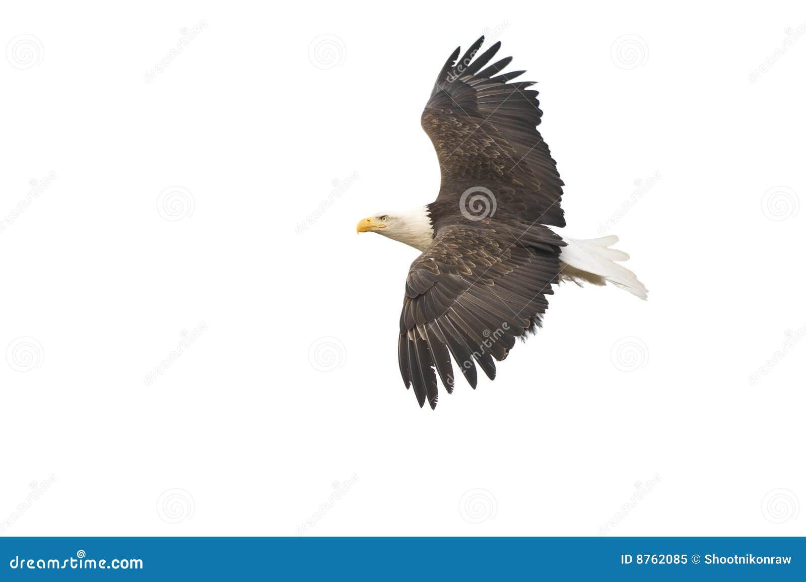 Le vol d aigle chauve a isolé