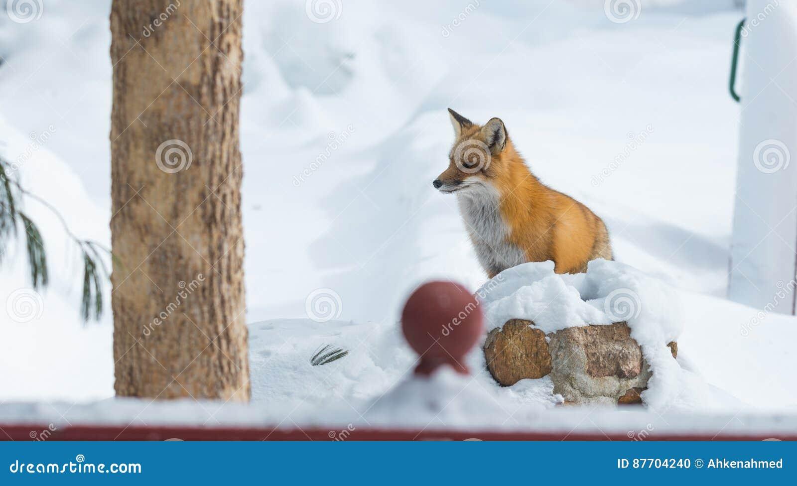Le vulpes commun de Vulpes de renard rouge recherche la nourriture le jour du ` s d hiver L animal timide évasif sort des bois