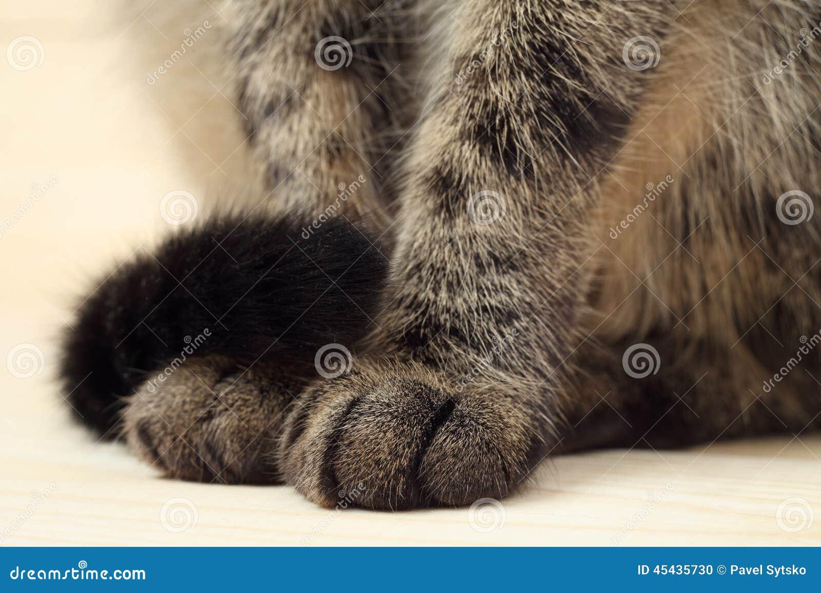 Le zampe e la coda del gatto fotografia stock immagine for La coda del gatto