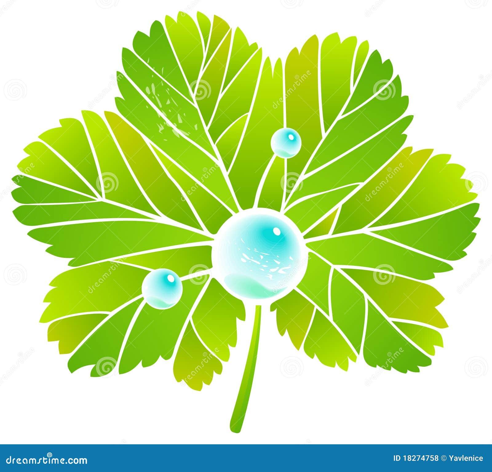 Leaf alchemilla and dew