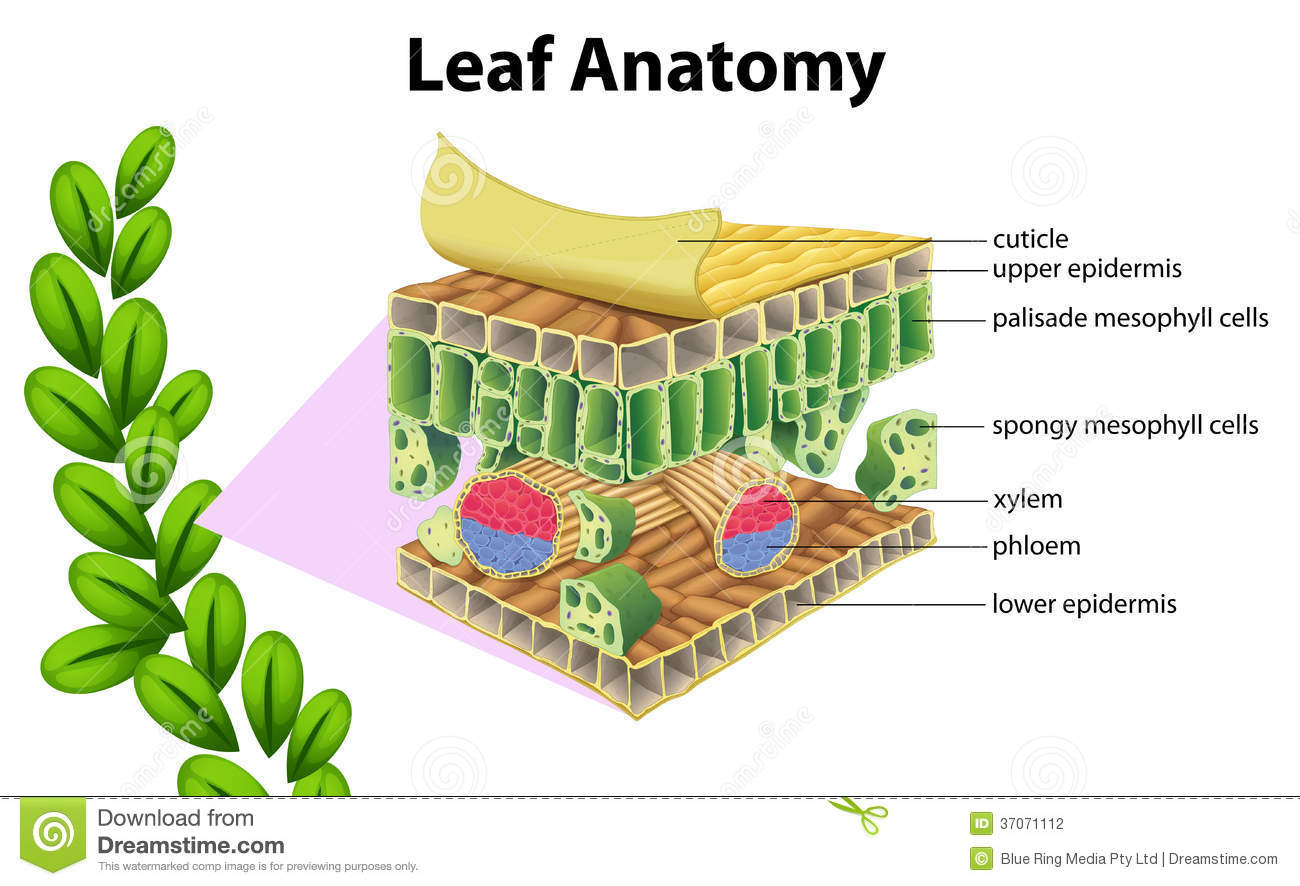 leaf anatomy stock photos image 34168343 : leaf anatomy diagram - findchart.co