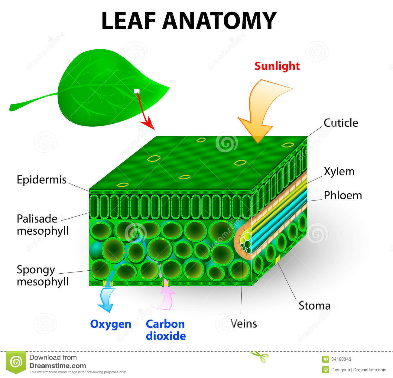 Uncategorized Leaf Anatomy Worksheet plants df lessons tes teach leaf anatomy stock photos image 34168343