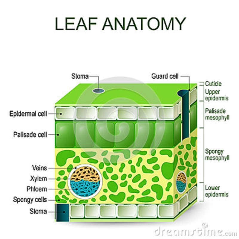 Anatomy of leaf 2905019 - follow4more.info