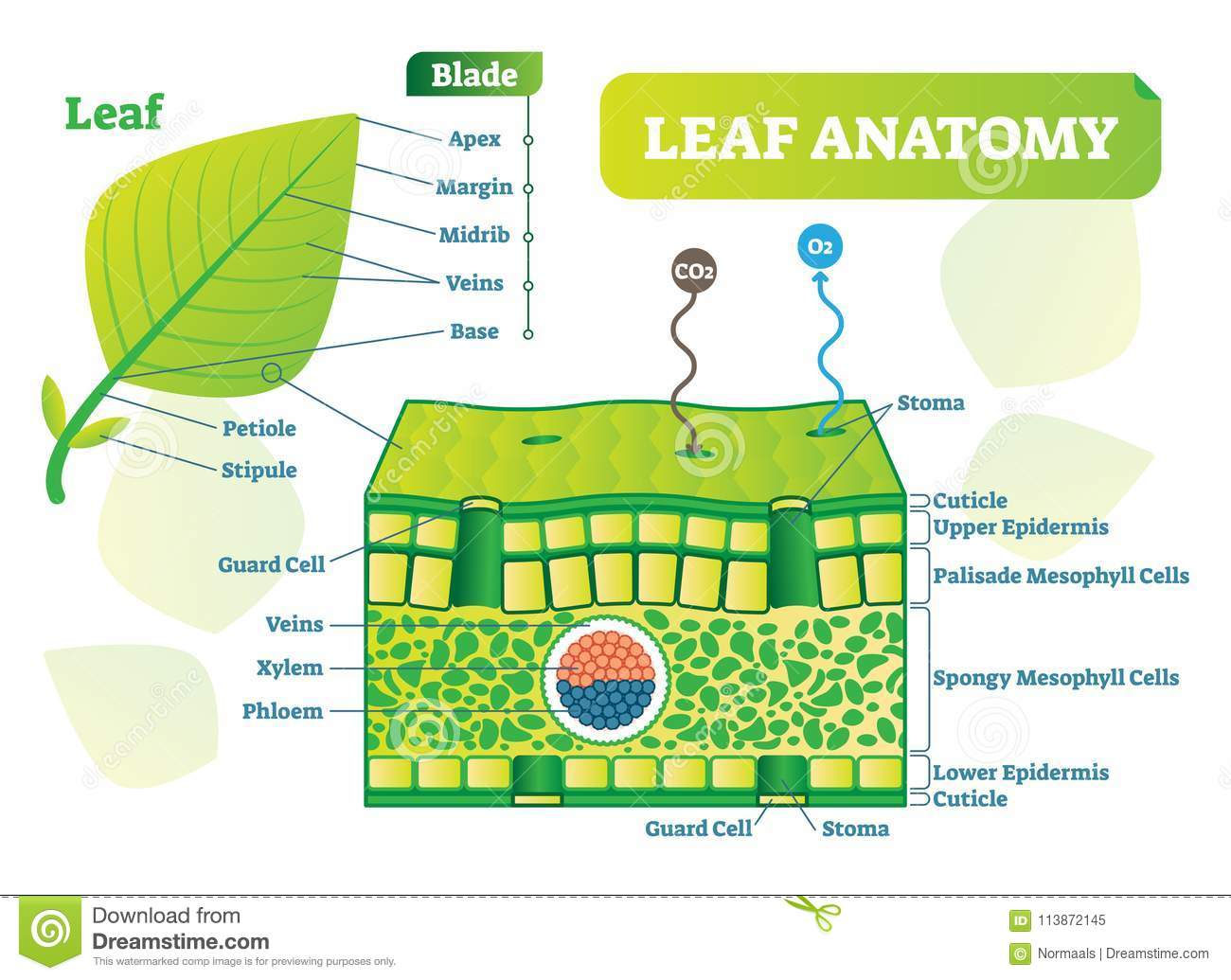 Plant Leaf Anatomy Diagram - Easy-to-read Wiring Diagrams •