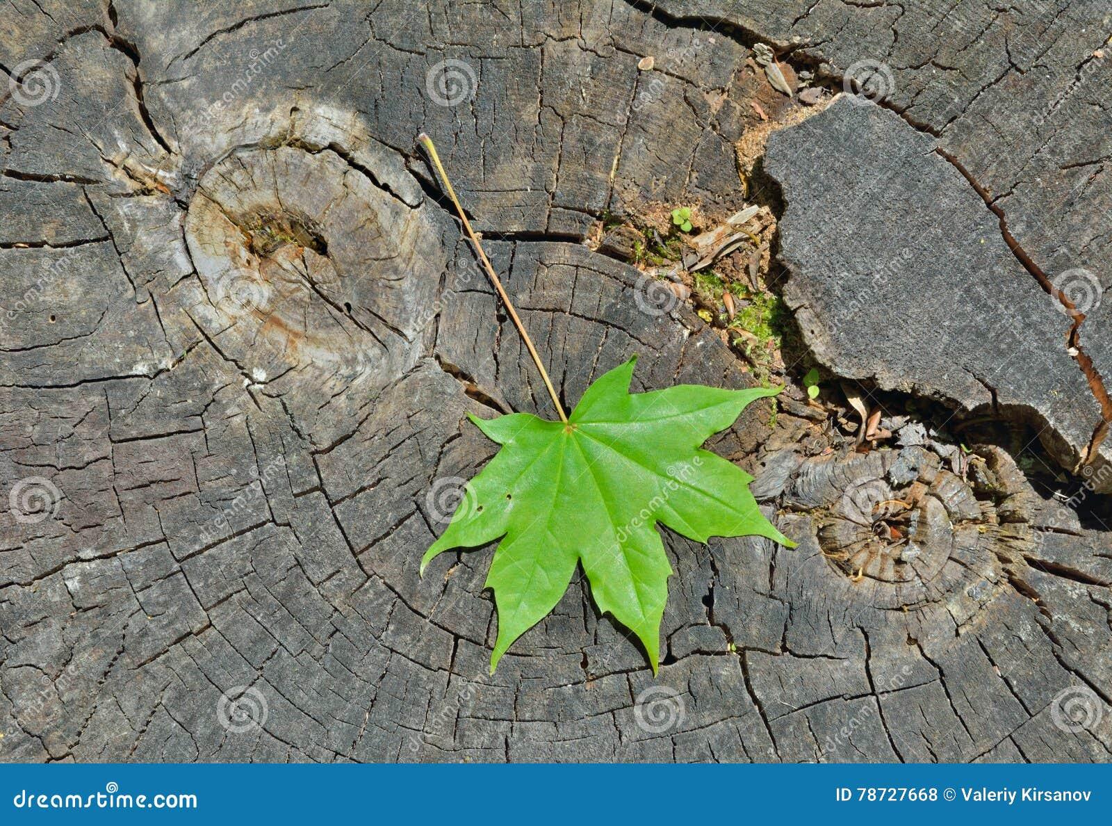 Leaf av lönn