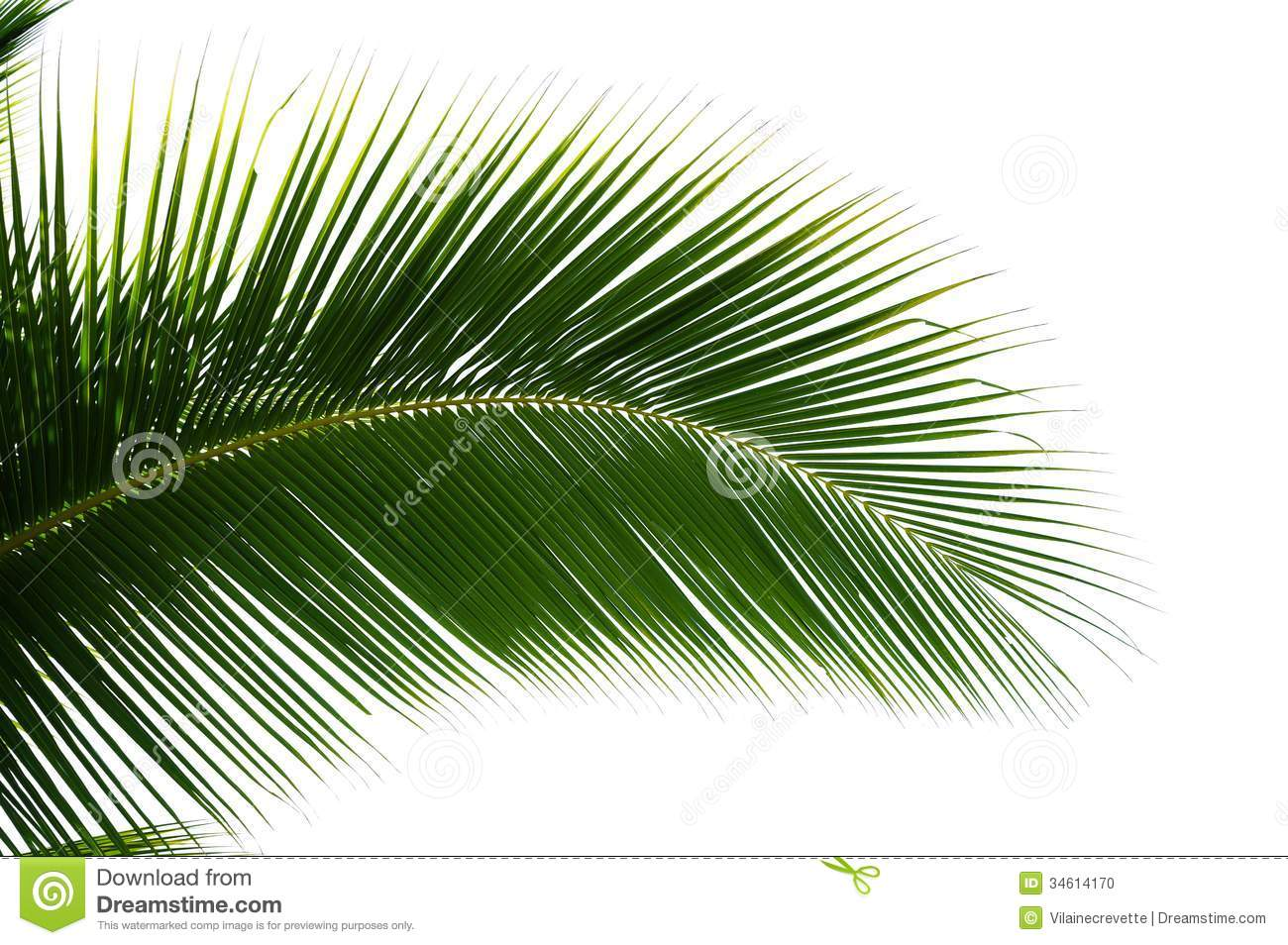 Leaf Of Coconut Palm Tree Isolated Stock Photo Image
