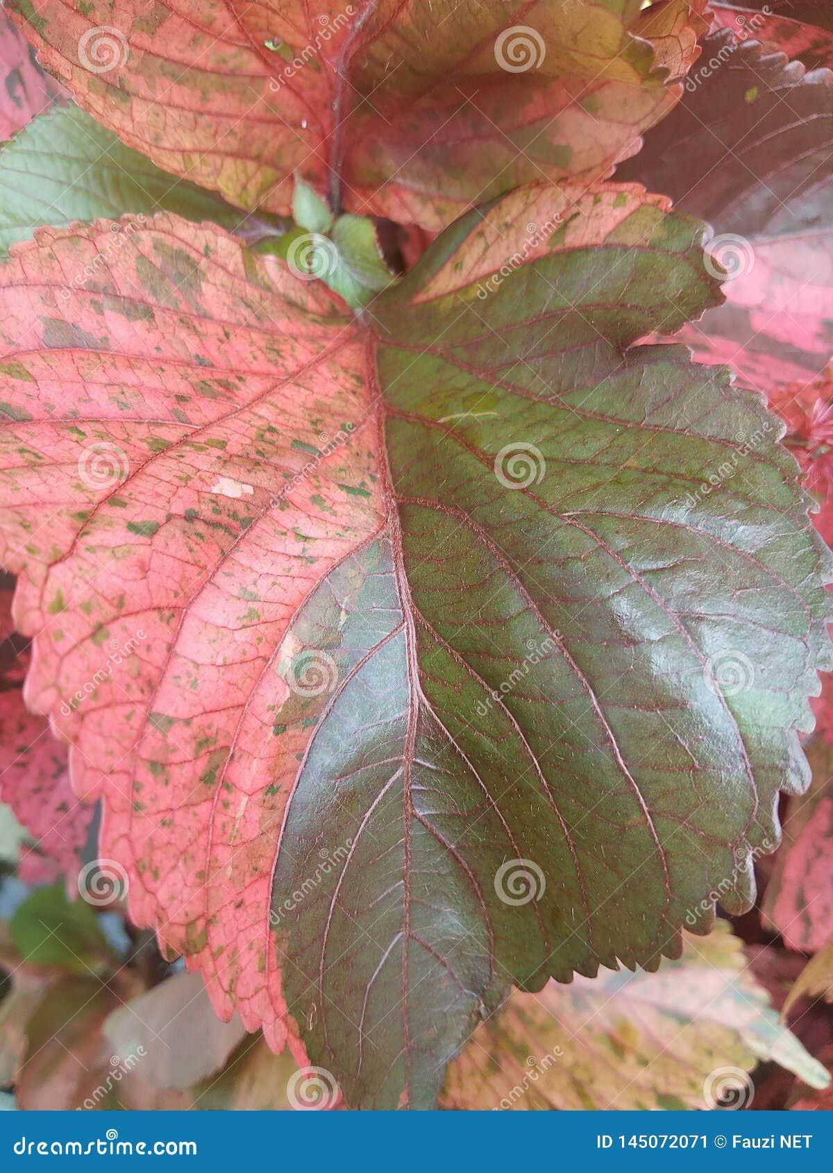leaf color pattern