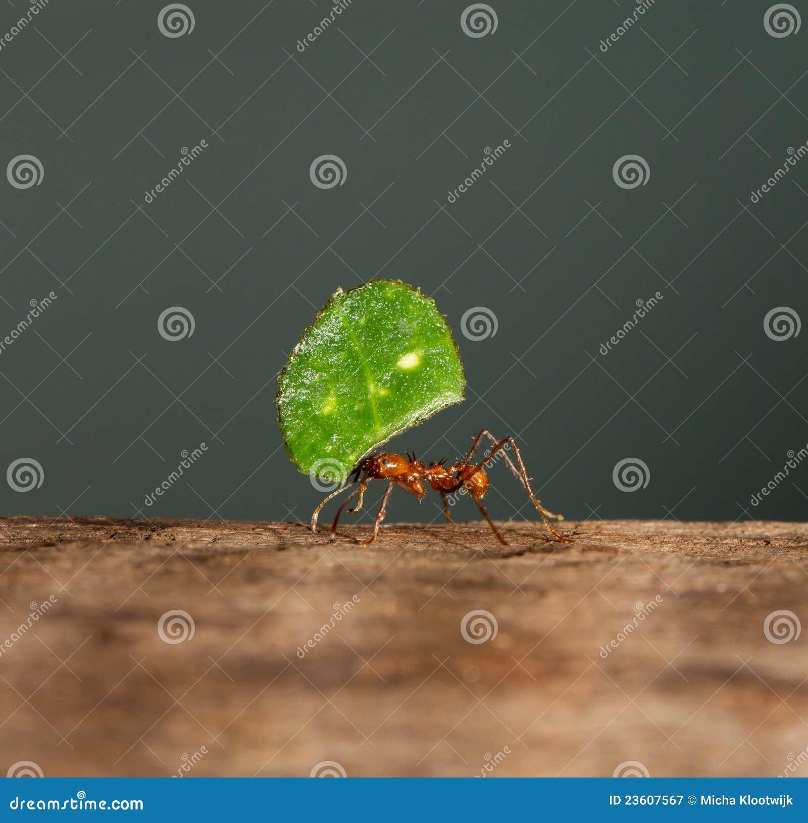 An leaf cutter ant
