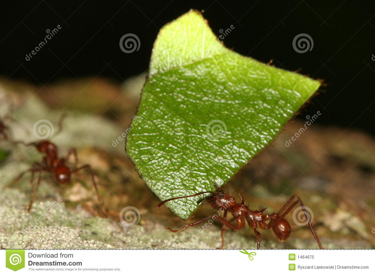 ants essay The invasion of fire ants biology essay sebastian wernecke ecology spring 2013 dr dollar ecological impacts due to the invasion of fire ants (solenopsis invicta) into new territories.