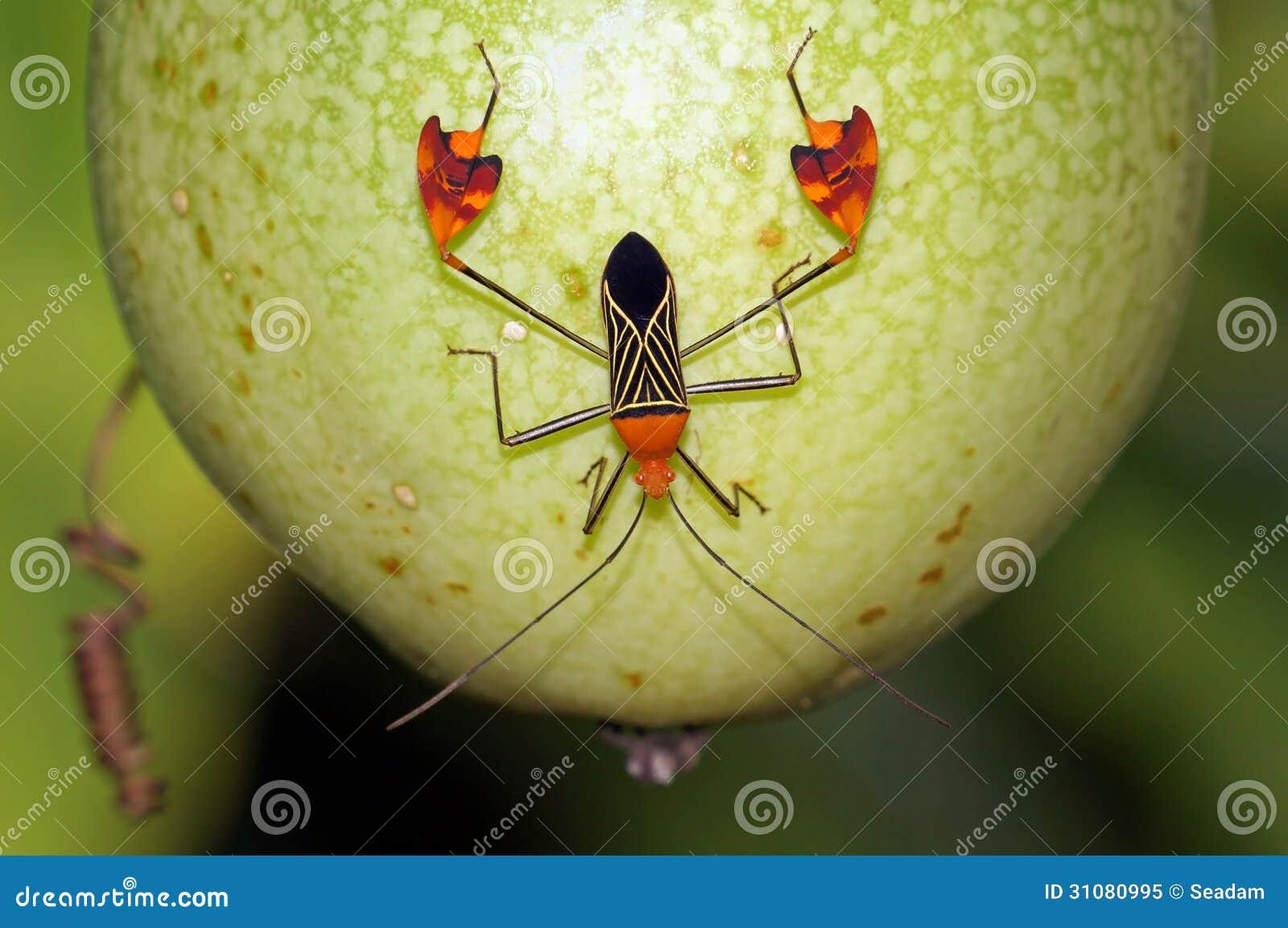 Leaf-footed Bug Anisoscelis Flavolineata Royalty Free Stock Photo ...