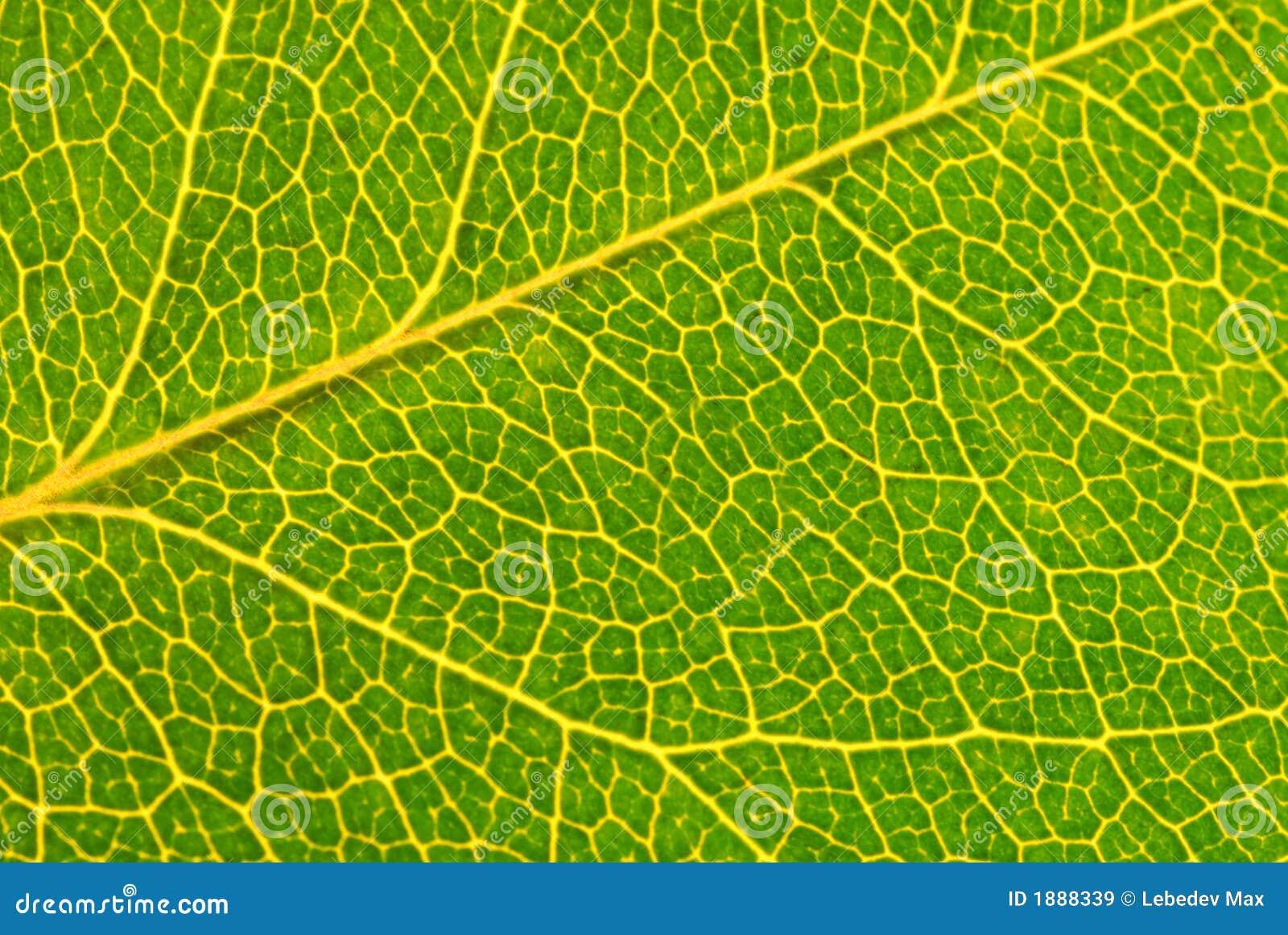 Leaf green macro