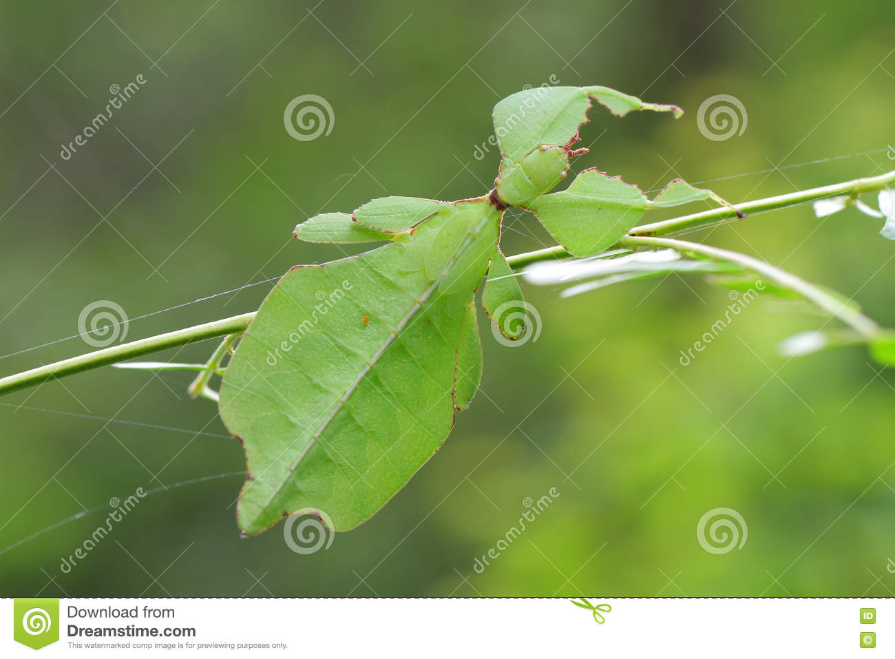 Leaf insect in Thailand.