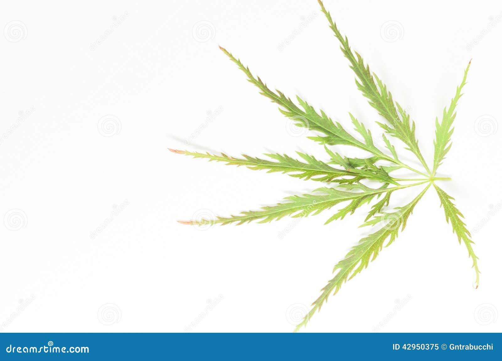 Download Japanese Maple Leaf On A Light Paper Background Stock Image - Image of leaf, background: 42950375