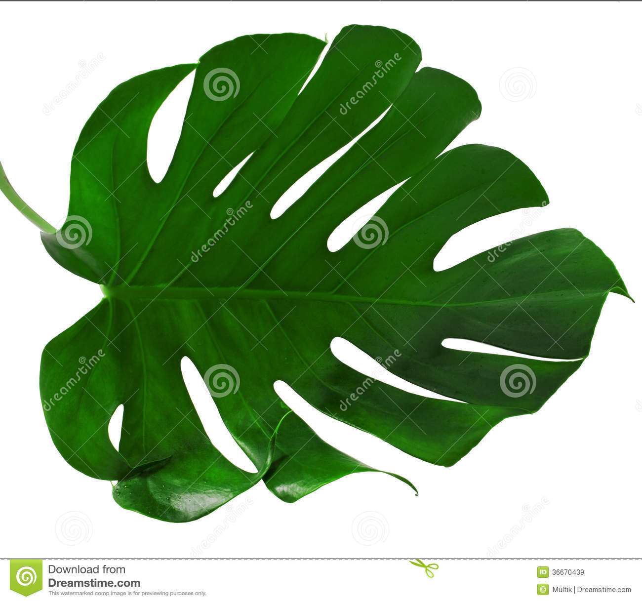 Leaf Of Monstera Plant Royalty Free Stock Images Image