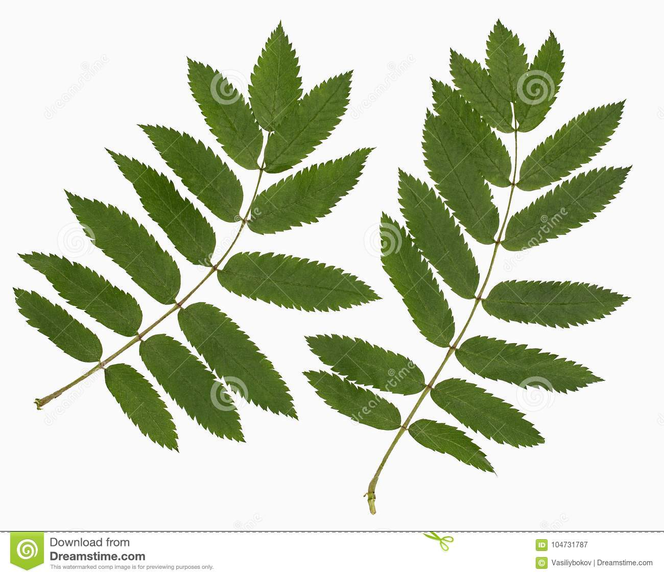Leaf of a mountain ash