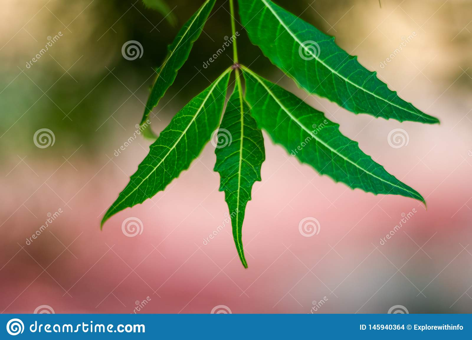 Neem Tree Or Azadirachta Indica Leaf With Blurred Background Stock