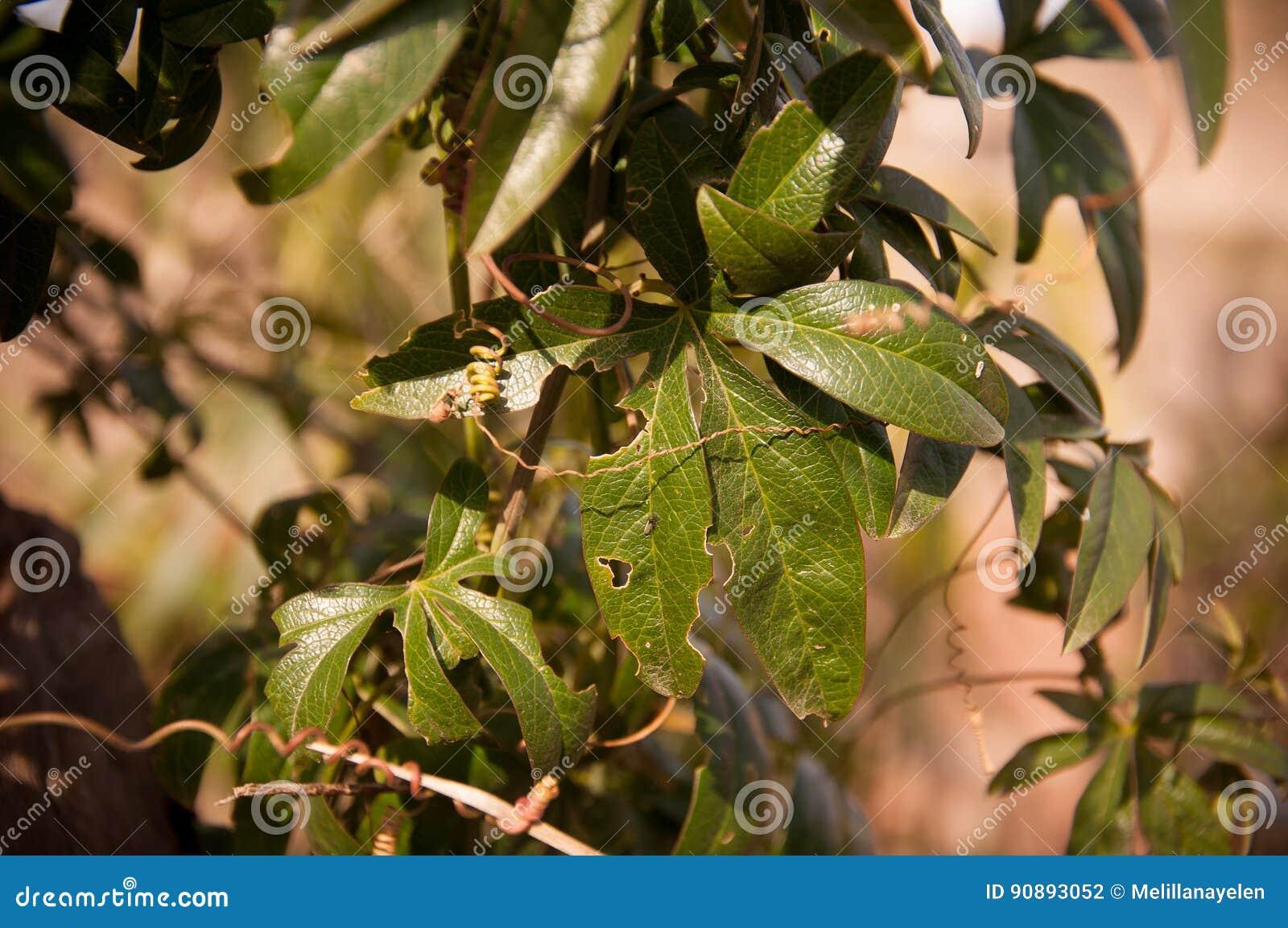 Leaf of passiflora caerulea