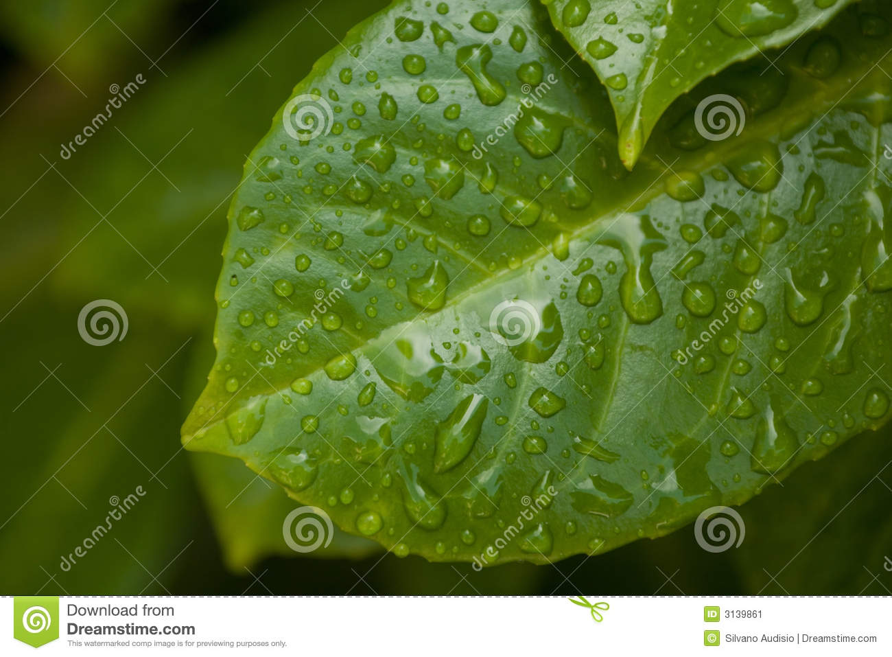 Leaf after the rain