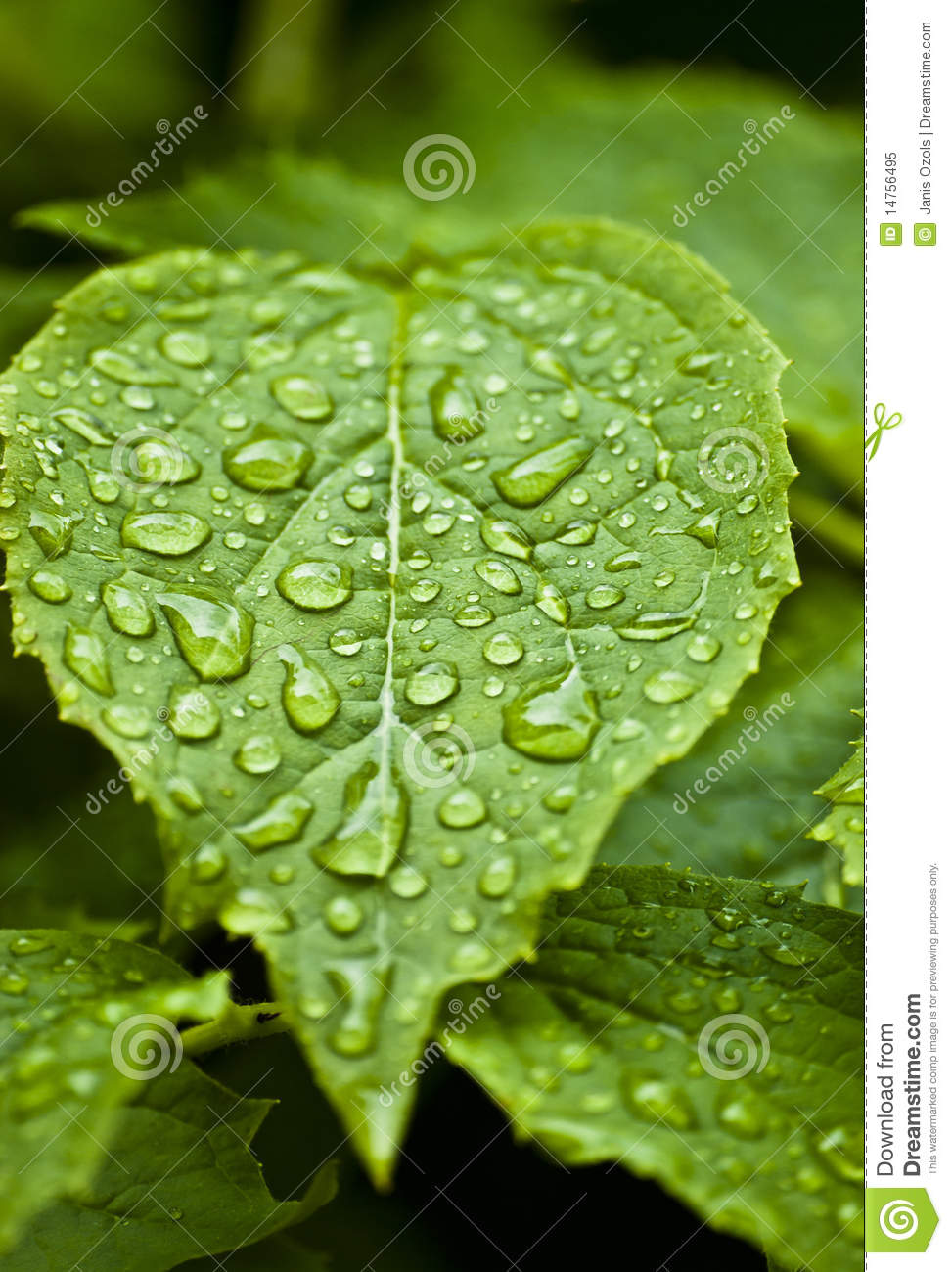 Leaf With Rain Drops Royalty Free Stock Photo Image