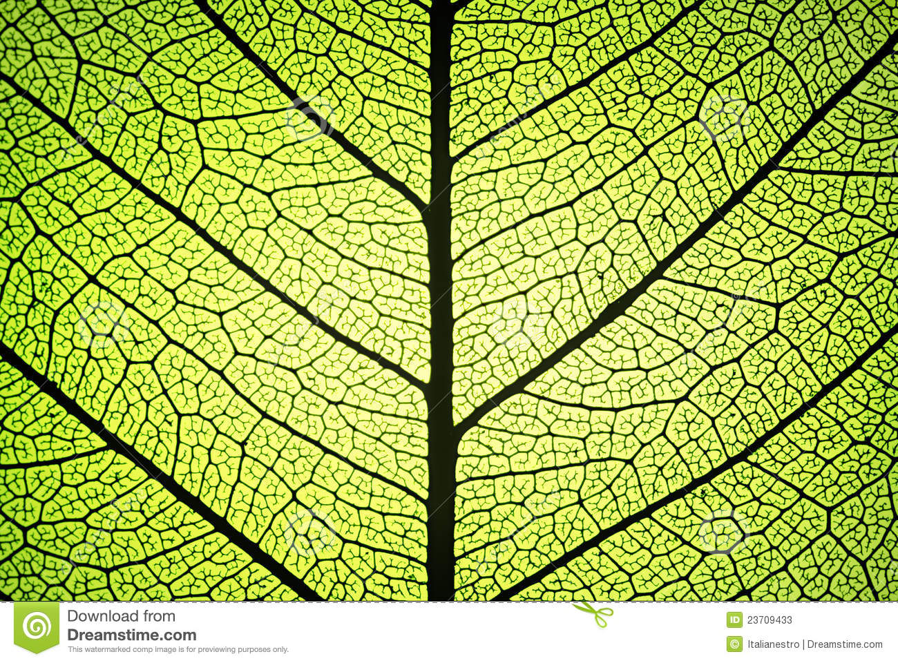 Leaf Ribs And Veins Stock Photos - Image: 23709433