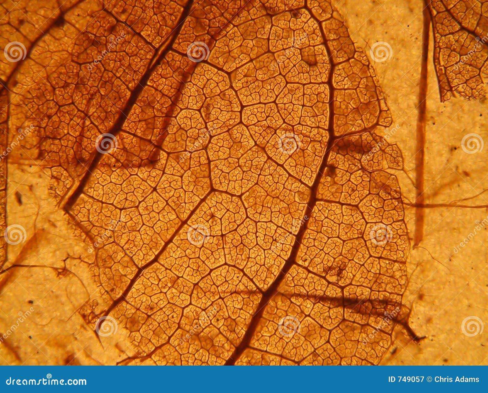 Leaf Skeleton