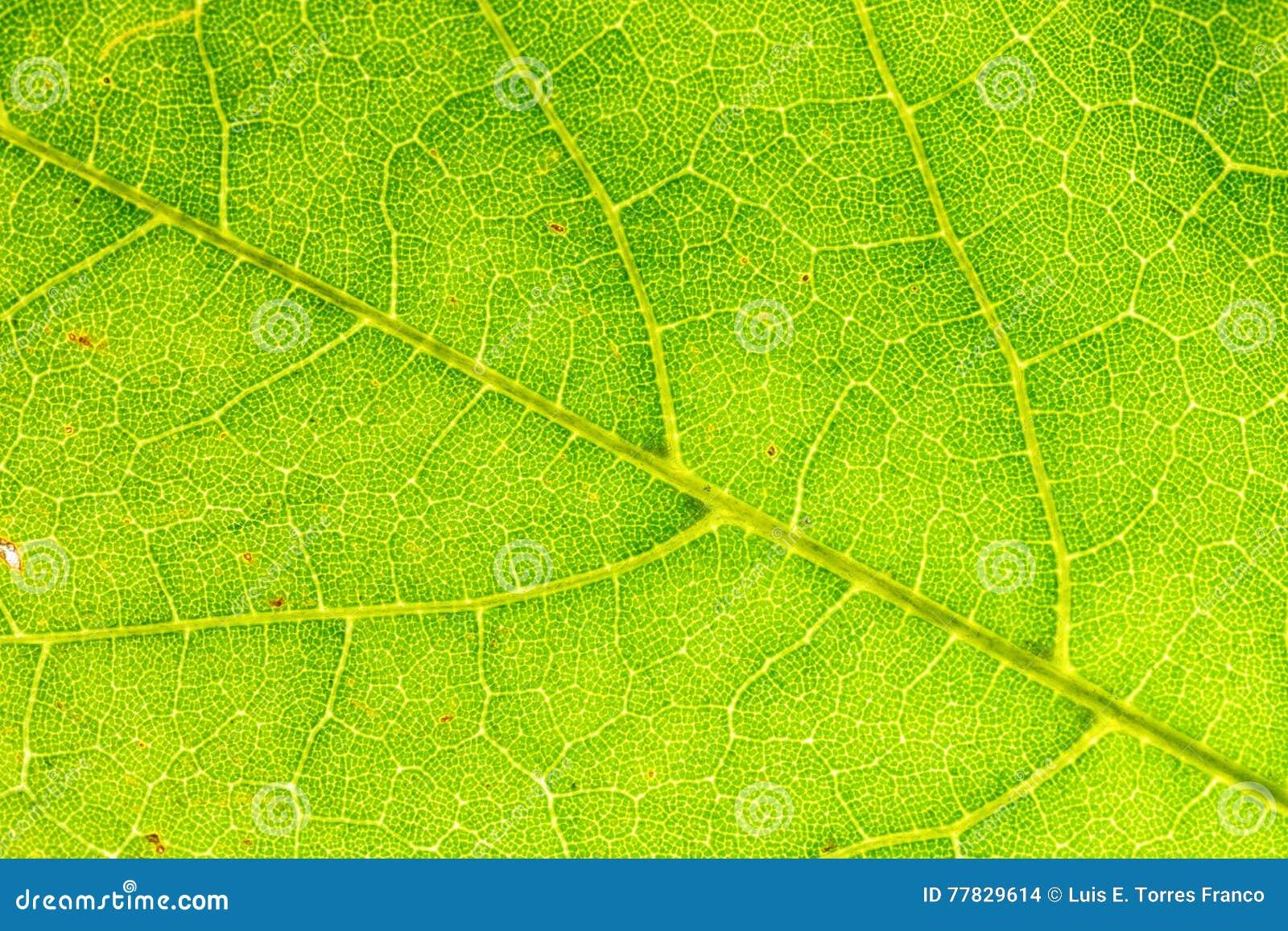 Leaf& x27; texturas de s