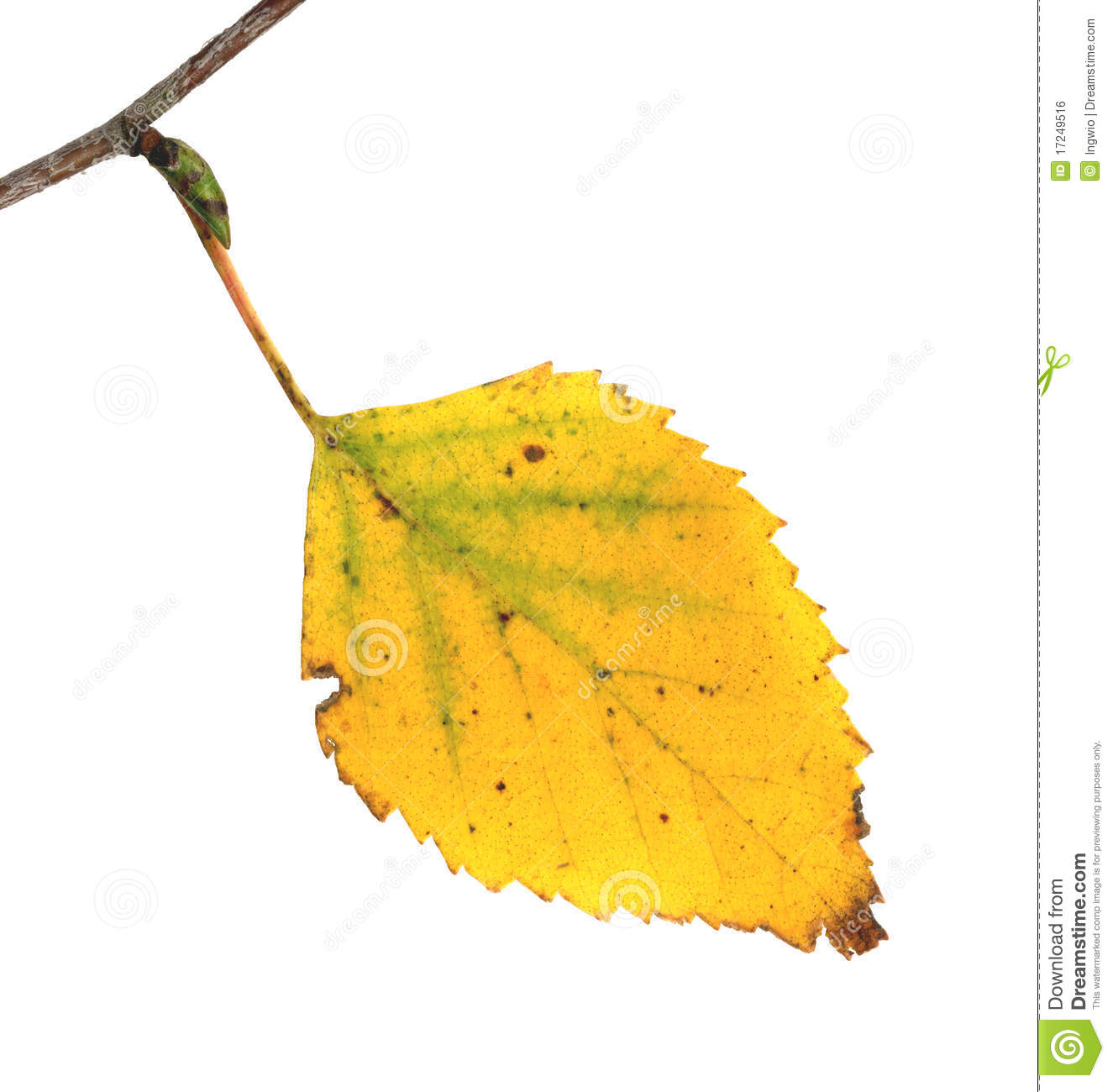 ... similar stock images of ` Leaf at a twig of a Silver Birch in autumn