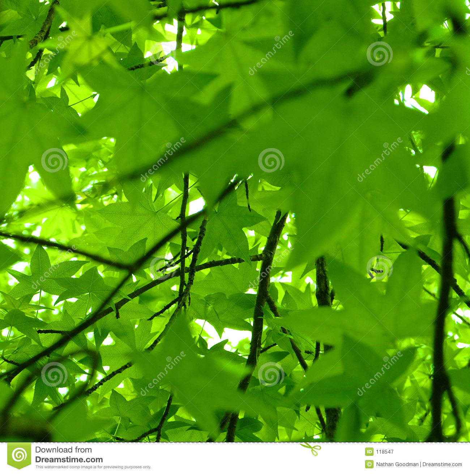 Leaf View of Spring. Sweet Gum (Liquidambar styraciflua)