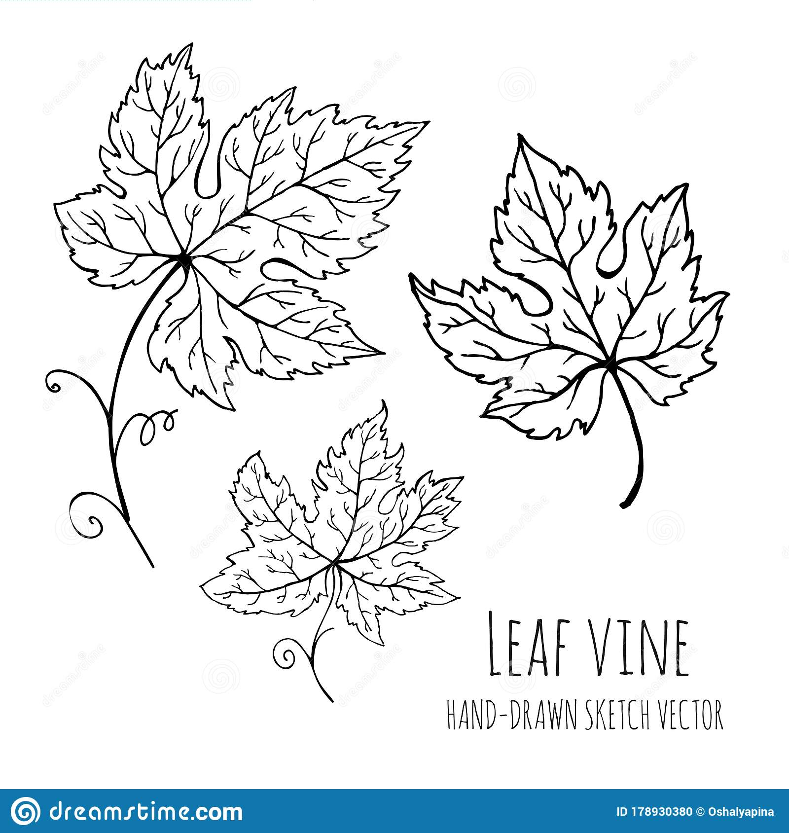 Leaf Vine Grapes Grape Leaves Hand Drawn Vector Doodle Floral Sketch Stock Illustration Illustration Of Background Modern 178930380