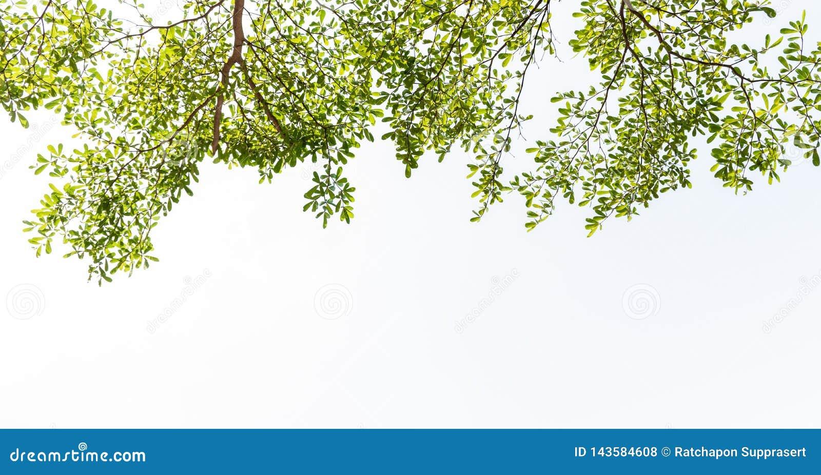Leaf white background