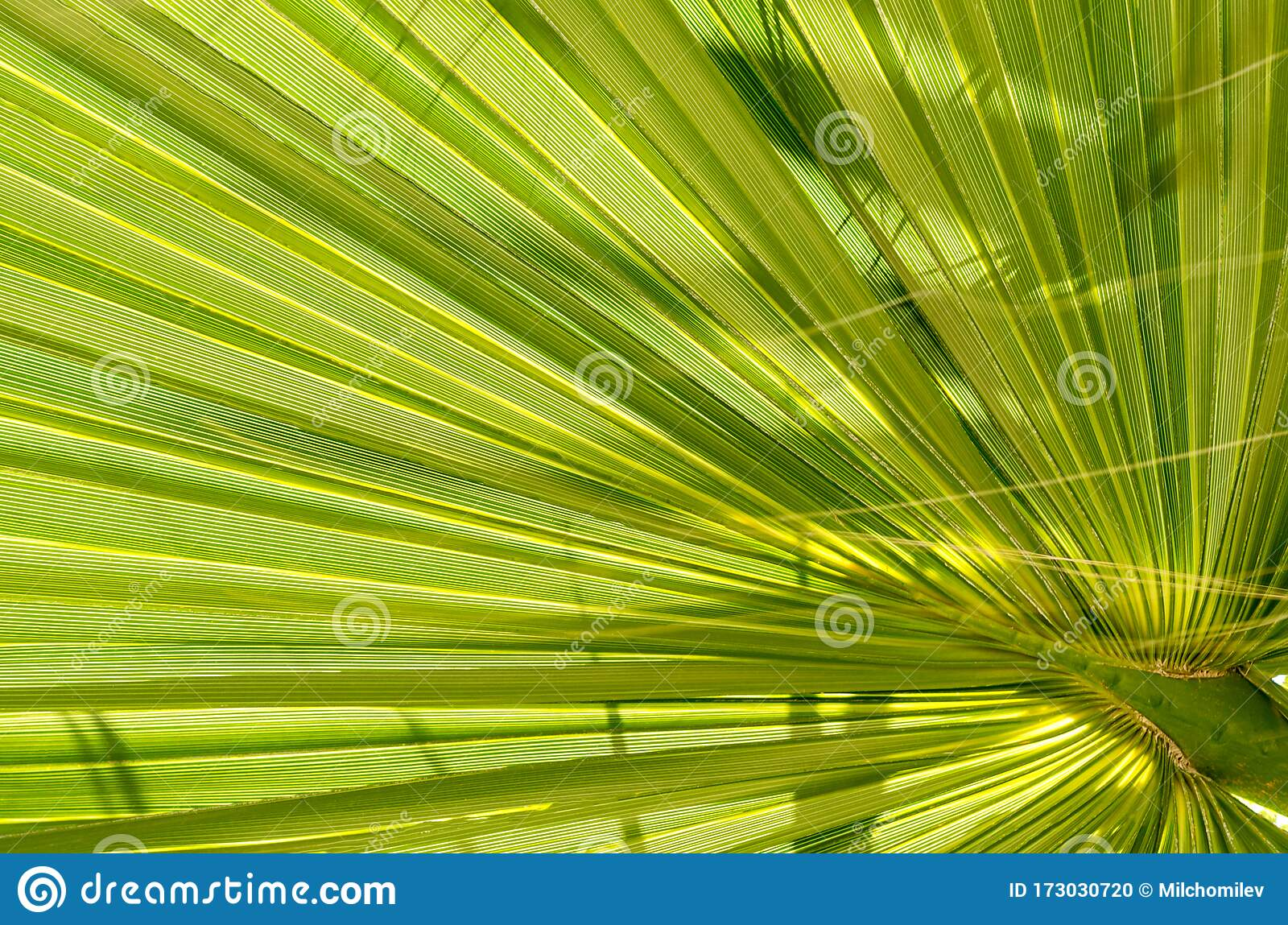 Leaf Of Young Palm Tree Closeup Of A Green Palm Leaf Viewed From Below Stock Photo Image Of Plant Closeup 173030720