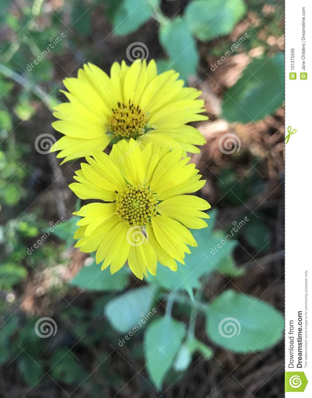 Leafcup Flower Stock Photo Image Of Flowers Leafcup 101375556