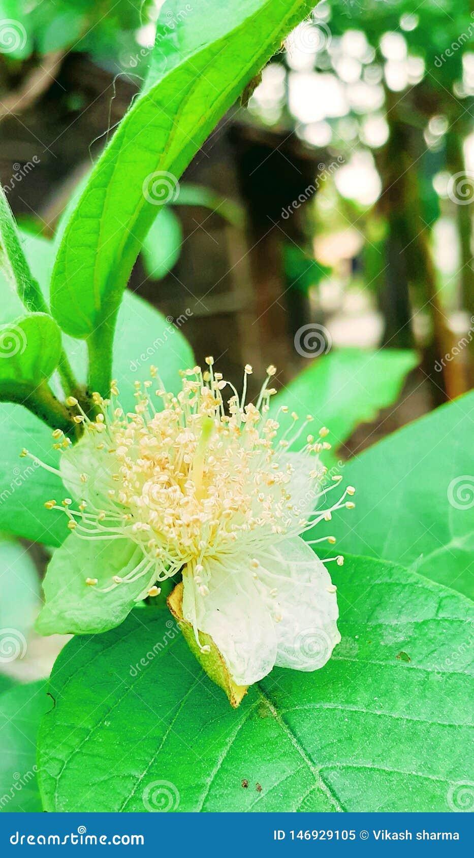 Leafe di verde del fiore della guaiava